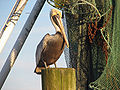 Brown Pelican (Pelecanus occidentalis) RWD2.jpg