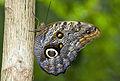 Brown butterfly Butterfly - Butterfly Place in Westford, Massachusetts.jpg