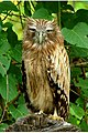 Brown fishh owl by N A Nazeer (cropped).jpg