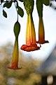 Brugmansia Flower (14432706636).jpg