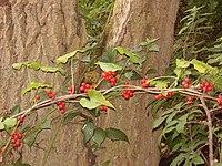 Dioscorea communis, djävulsdruva