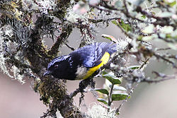 Buff-breasted Mountain Tanager (Dubusia taeniata) (8079763473).jpg
