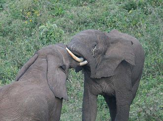 African elephant - Bull elephants in mock aggression.