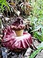 Bunga Bangkai di Sulawesi.jpg