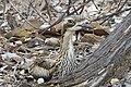 Bush Stone Curlew, NT.jpg
