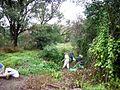 Bush regeneration Bray Avenue Earlwood.jpg