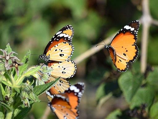 Butterfly-Plain Tiger3