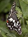 Butterfly 10 (4867233562).jpg