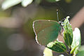 Butterfly in green (8467618444).jpg