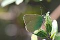 Butterfly in green (8467618444).jpg