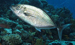Orange-spotted trevally Species of fish