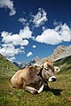 CH cow 2 edit.jpg
