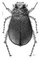 COLE Scarabaeidae Odontria giveni.png