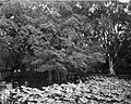 COLLECTIE TROPENMUSEUM Waterlelies in de tuin bij het paleis van de Gouverneur-Generaal in Buitenzorg. TMnr 60002080.jpg