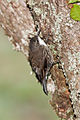 CSIRO ScienceImage 10358 Whitethroated Treecreeper Jamieson Victoria.jpg