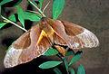 CSIRO ScienceImage 1047 Coequosa triangularis Sphingidae.jpg
