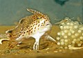 CSIRO ScienceImage 11186 The Endangered Spotted Handfish.jpg