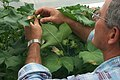 CSIRO ScienceImage 1364 Man in glasshouse inspecting cotton plants.jpg