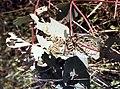 CSIRO ScienceImage 1694 Autumn Gum Moth caterpillers.jpg