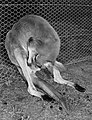 CSIRO ScienceImage 2272 Kangaroo Birth Position.jpg