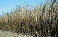 CSIRO ScienceImage 4427 Recently burnt cane ready for harvest at Frank Balettas farm Brandon near Ayr Burdekin Irrigation Area SE of Townsville.jpg