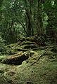 CSIRO ScienceImage 90 Scotts Park Cool Temperate Rainforest.jpg