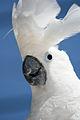 Cacatua alba -pet -upper body-8a (1).jpg