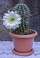 Cactus flower 2020-08-03.jpg