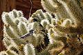 Cactus wren (Campylorhynchus brunneicapillus) building a nest.jpg
