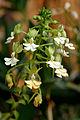 Calanthe argenteostriata 1001 Orchids.jpg