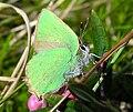 Callophrys rubi.jpg