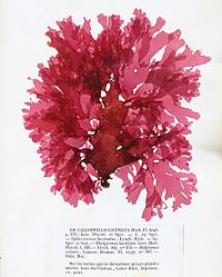 Callophyllis laciniata 1 Crouan.jpg