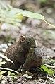 Callosciurus erythraeus thaiwanensis (30685846781).jpg