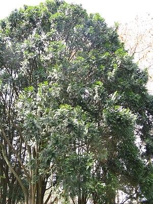 Calocedrus macrolepis - Calocedrus macrolepis var formosana