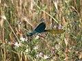 Calopteryx splendens - parenje, Srbija.jpg