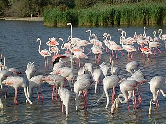 Camargue - Flamingos in the Camargue