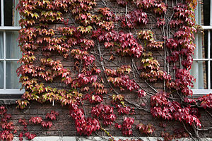 Parthenocissus tricuspidata - Image: Cambridge Japanese Creeper 1308