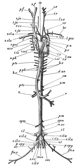 Cambridge Natural History Mammalia Fig 043.png