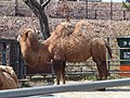Camelus bactrianus in Akita Omoriyama Zoo 20170326.jpg