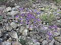 Campanula sibirica habitus 2.jpg