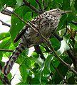 Campylorhynchus nuchalis brevipennis 2.jpg