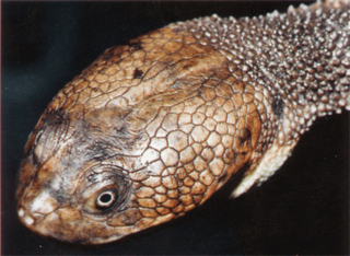 <i>Chelodina canni</i> species of reptile