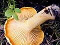 Cantharellus cibarius 90401654.jpg