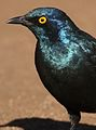 Cape Glossy Starling, Lamprotornis nitens, at Walter Sisulu National Botanical Garden, Gauteng, South Africa (29391103922).jpg