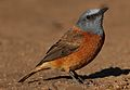 Cape Rock Thrush, Monticola rupestris, at Walter Sisulu National Botanical Garden, Gauteng, South Africa (28788500593).jpg
