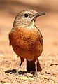 Cape Rock Thrush, Monticola rupestris at Suikerbosrand Nature Reserve, Gauteng, South Africa -- FEMALE (15494980586).jpg
