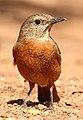 Cape Rock Thrush, Monticola rupestris at Suikerbosrand Nature Reserve, Gauteng, South Africa -- FEMALE (15494980586).jpg