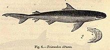 Dessin d'un requin vu de profil sur un papier un peu jauni par le temps.