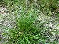 Carex demissa plant (1).jpg