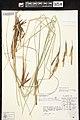 Carex elata herbarium (03).jpg